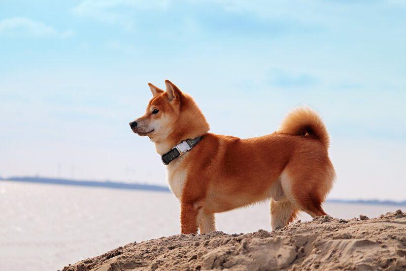 柴犬と砂浜